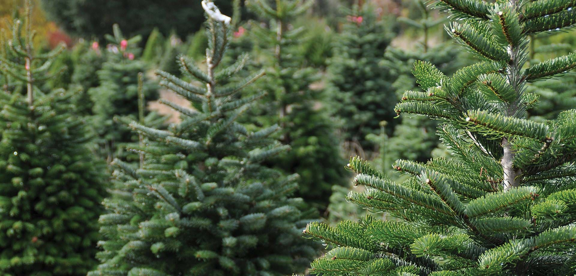 Christmas trees for sale at Chatsworth